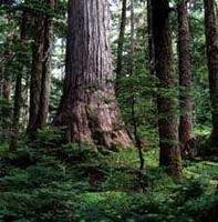 how to get to bulbus cedar pacific rim national park