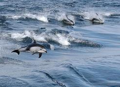 Pacific white-sided dolphins are the most acrobatic cetacean in BC and are seen with increased frequency in the Strait of Georgia. M.C. Tucker photo