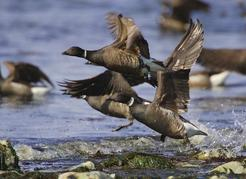 "The black belly brant or ""sea goose"" uses herring spawned on algae to fuel its spring migration. These birds are the headliners of the annual Brant Festival at Parksville-Qualicum Beach. Jason Otto photo"
