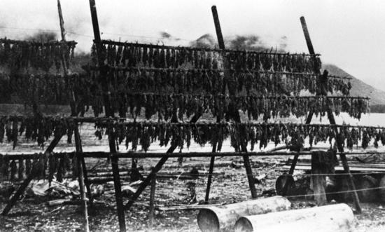 The arrival of shoals of herring to spawn into Clayoquot Sound each spring started the seasonal cycle of food harvesting. The Nuu-chah-nulth anchored hemlock boughs in the bays and inlets during a herring spawn. When heavily coated with herring roe, the boughs were collected and dried on racks, for use in the winter.