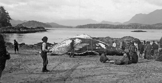 "One of the last traditional Tla-o-qui-aht whale hunts brought this whale ashore to the beach at Echachis. ""Indians caught a whale. A big monster of a humpback,"" wrote Father Charles Moser in his diary on April 21, 1905. Father Charles took many photographs, including this one, during his years as a missionary on the coast."