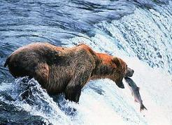 A grizzly bear catching a salmon. Mark Newman/Image Makers