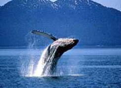 Humpback whale breaching. Mark Newman/Image Makers